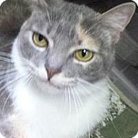 Adopt A Pet :: Cali - St. Petersburg, FL