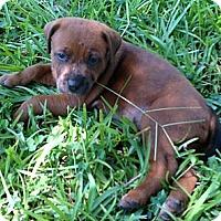 Adopt A Pet :: Tipsy (female) - Houston, TX