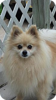 Pomeranian Dog for adoption in Broken Bow, Nebraska - Max