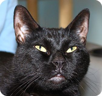 Domestic Shorthair Cat for adoption in North Branford, Connecticut - Gwyneth
