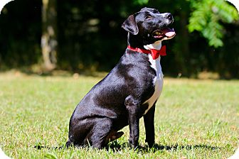 Labrador Retriever/Great Dane Mix Puppy for adoption in LANSING, Michigan - Dodger