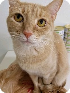 Domestic Shorthair Cat for adoption in Hendersonville, North Carolina - Tiger