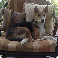 Hound (Unknown Type) Mix Dog for adoption in Monroe, New Jersey - Abhi-Indian Pariah Dog