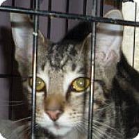 Adopt A Pet :: Dandy - Dallas, TX