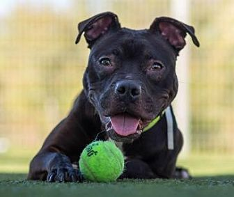 Pit Bull Terrier/Labrador Retriever Mix Dog for adoption in San Ramon, California - Wasabi