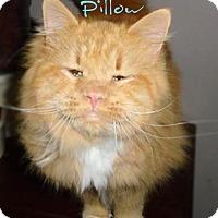 Adopt A Pet :: Pillow - York, PA