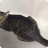 Domestic Shorthair Cat for adoption in Lewistown, Pennsylvania - Lawry (teenage boy)