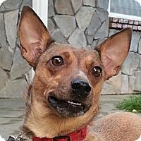 Adopt A Pet :: Foxy - Vacaville, CA