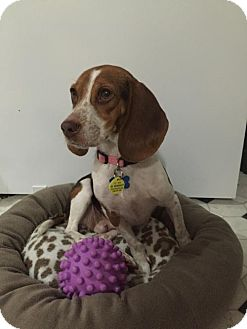 Beagle Dog for adoption in London, Ontario - Little Bit