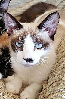 Snowshoe Cat for adoption in San Fernando Valley, California - Quinn