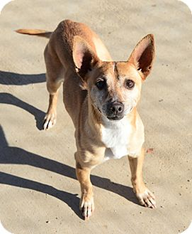 Terrier (Unknown Type, Small)/Chihuahua Mix Dog for adoption in Gardnerville, Nevada - Hemmingway