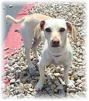 Dachshund Mix Dog for adoption in Las Vegas, Nevada - Ella
