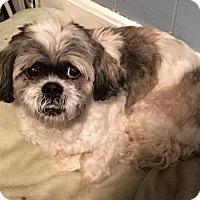 Adopt A Pet :: Sophie Mae - Buffalo, NY