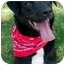 Photo 1 - Labrador Retriever/Chow Chow Mix Dog for adoption in Afton, Tennessee - Starbucks