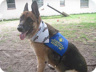 German Shepherd Dog Dog for adoption in Green Cove Springs, Florida - Kobe