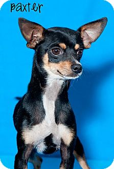 Miniature Pinscher Dog for adoption in Phoenix, Arizona - Adam
