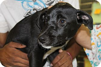 Labrador Retriever Mix Puppy for adoption in Waldorf, Maryland - Ranger