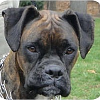 Adopt A Pet :: Moxie - Grafton, MA