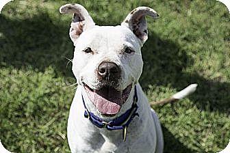 American Bulldog Mix Dog for adoption in Aubrey, Texas - Cody