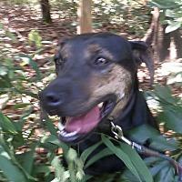 Labrador Retriever Mix Dog for adoption in Oakland, Arkansas - Flo