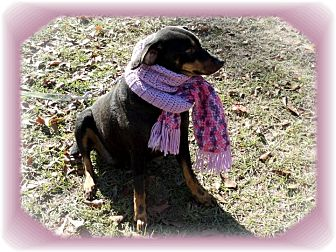 Manchester Terrier/Terrier (Unknown Type, Medium) Mix Dog for adoption in Ozark, Alabama - Parker