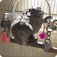 Adopt A Pet :: Popeye - Punta Gorda, FL