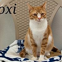 Domestic Shorthair Cat for adoption in Waynesville, North Carolina - Roxi
