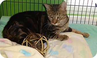 Domestic Shorthair Cat for adoption in Barnwell, South Carolina - Hollywood