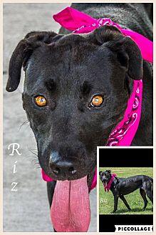 Labrador Retriever Mix Dog for adoption in Austin, Texas - Riz