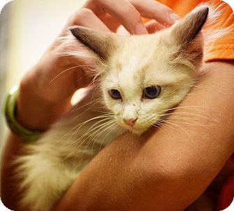 Domestic Shorthair Kitten for adoption in Dallas, Texas - Dell