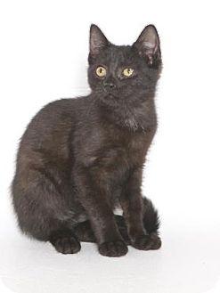 Domestic Shorthair Kitten for adoption in Gloucester, Virginia - FELIX