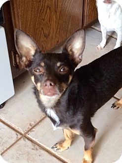 Chihuahua/Miniature Pinscher Mix Dog for adoption in Edmond, Oklahoma - Mija