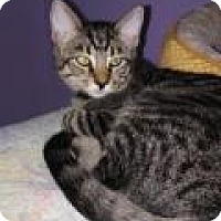 Domestic Shorthair Kitten for adoption in Englewood, Florida - Moose
