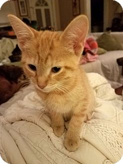 Domestic Shorthair Kitten for adoption in Nashville, Tennessee - Bert