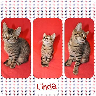 Domestic Shorthair Kitten for adoption in Hagerstown, Maryland - Linda