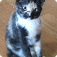 Adopt A Pet :: Mango -Adoption Pending! - Colmar, PA