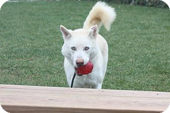 Siberian Husky Mix Dog for adoption in Harvard, Illinois - Leo