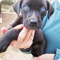 Adopt A Pet :: DESIREE - Williston Park, NY
