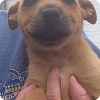 Adopt A Pet :: Karley - Allentown, PA