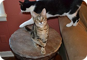 Domestic Shorthair Kitten for adoption in Fort Worth, Texas - Ducky