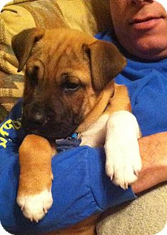 Boxer/Shar Pei Mix Puppy for adoption in Somers, Connecticut - Frankie: Mr Personality!