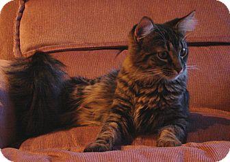 Domestic Mediumhair Kitten for adoption in Florence, Kentucky - Mitt