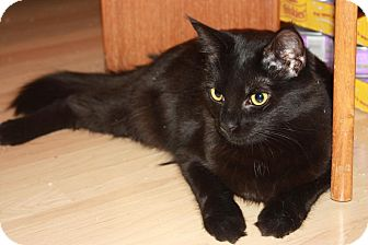 Domestic Mediumhair Cat for adoption in Little Falls, New Jersey - Brie (LE)