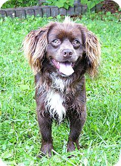 Boykin Spaniel Mix Dog for adoption in Mocksville, North Carolina - Connor