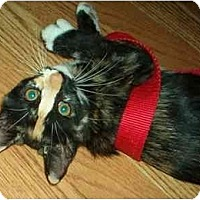 Adopt A Pet :: Calico kittens - Lake Charles, LA