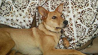 Carolina Dog Dog for adoption in Malibu, California - GISELLE