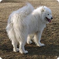 Adopt A Pet :: Spirit - Arvada, CO