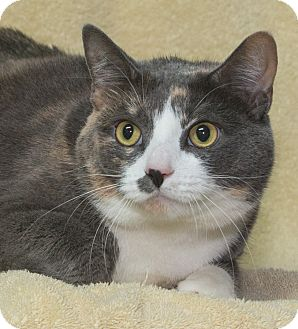 Calico Cat for adoption in Elmwood Park, New Jersey - Madison