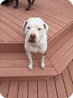 Pit Bull Terrier Mix Dog for adoption in Baltimore, Maryland - Angel (COURTESY POST)