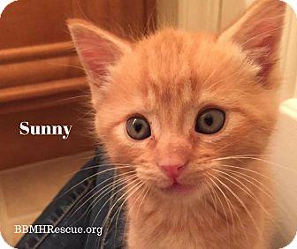 Domestic Shorthair Kitten for adoption in Temecula, California - Sunny